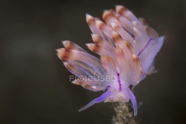 Flabellina rubrolineata nudibranche — Photo de stock