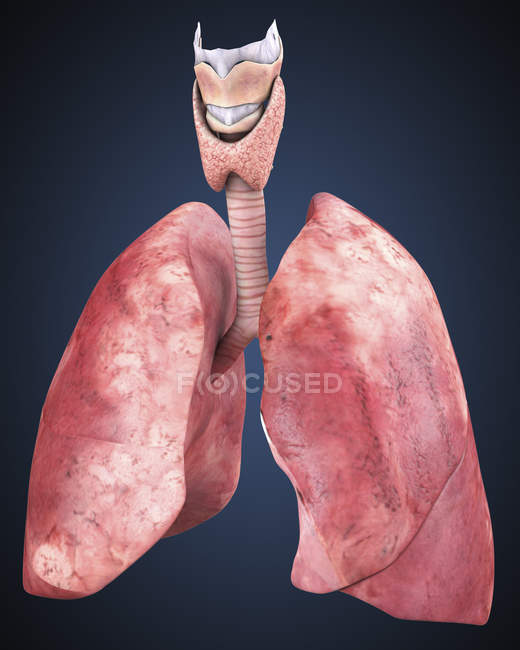 Human Lung Stock Photos Royalty Free Images Focused