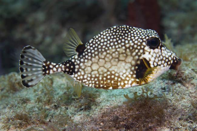Pez tronco moteado nadando sobre los arrecifes de coral - foto de stock
