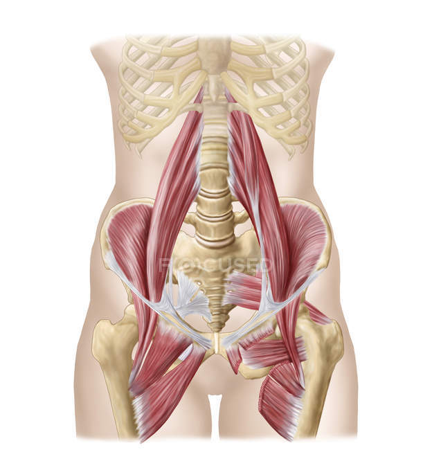 Anatomy Of Iliopsoa With Dorsal Hip Muscles White Background