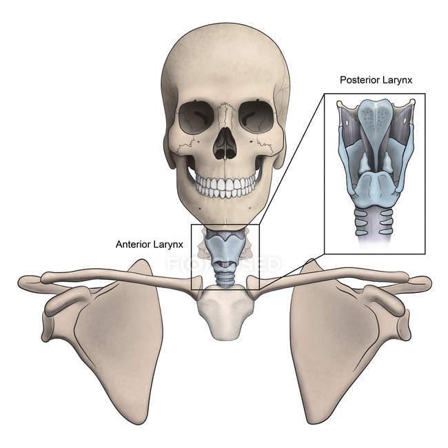 Anteriorer und hinterer Kehlkopf und Skelettanatomie — Stockfoto