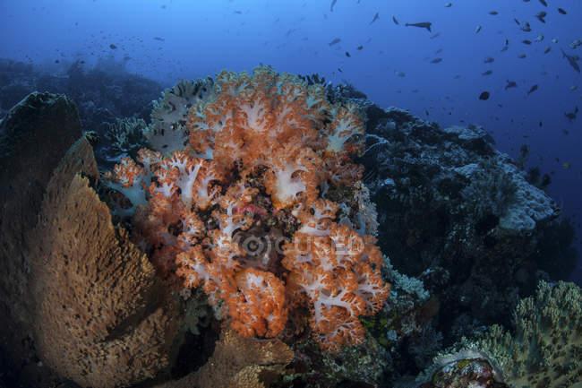 Corales suaves de color naranja y bandada de peces - foto de stock