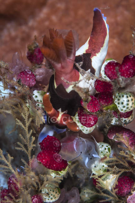 Nudibranche chamberlaini Nembrotha sur tuniciers — Photo de stock