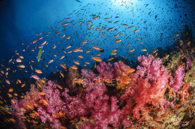 Antías peces y corales blandos - foto de stock
