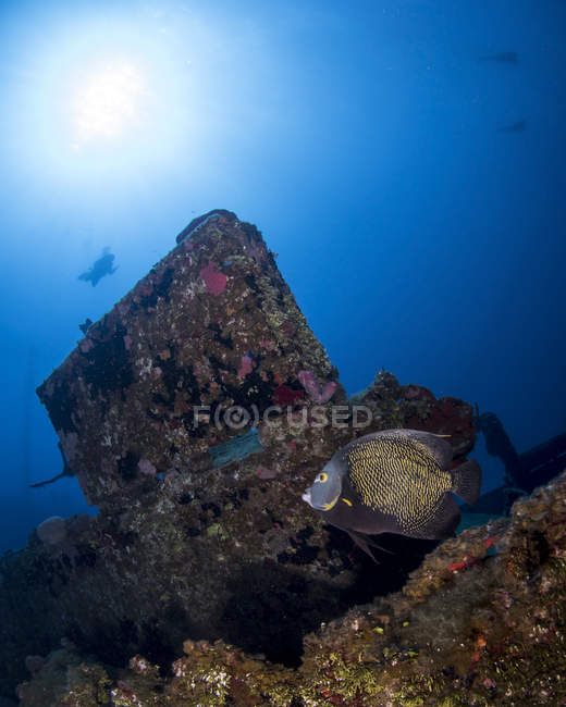 French angelfish on El Aguila wreck — Stock Photo