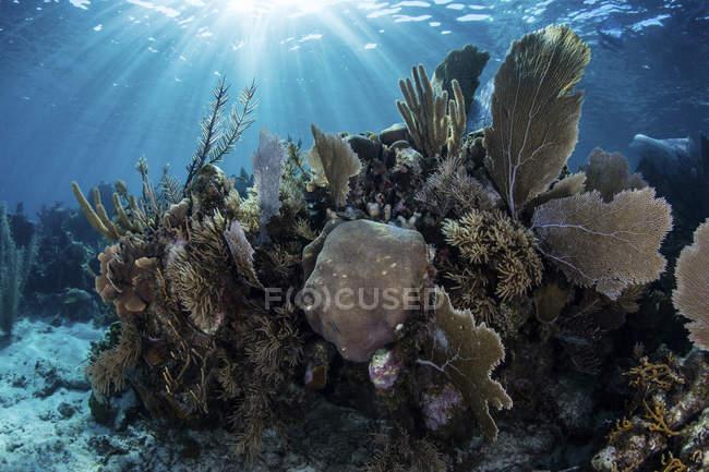 Gorgonien mit riffbildenden Korallen am Riff — Stockfoto