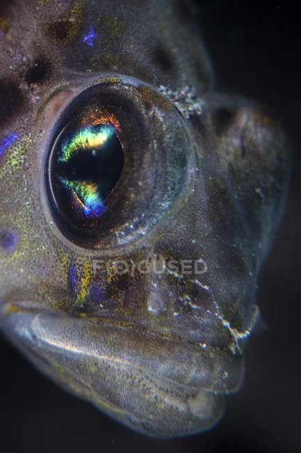 Goby fish closeup headshot — Stock Photo