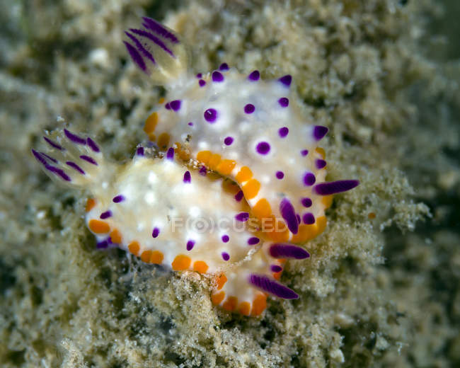 Coppia di nudibranchi mexichromis — Foto stock