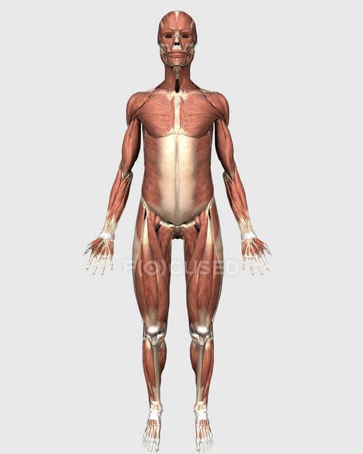 Vista frontal do sistema muscular humano — Fotografia de Stock