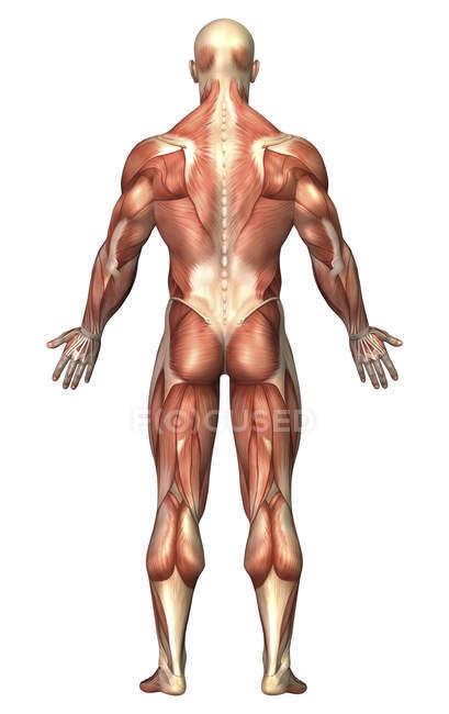 Anatomia do sistema muscular masculino — Fotografia de Stock