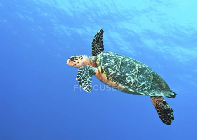 Hawksbill черепаха купання в блакитна вода — стокове фото