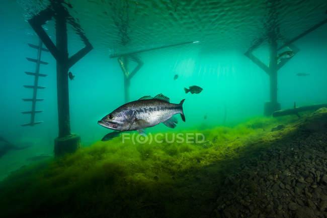 Lobina bajo muelle en el lago Phoenix - foto de stock