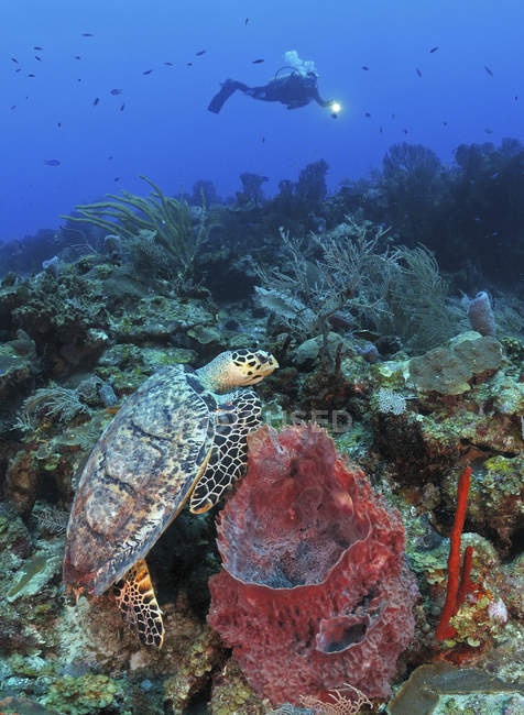Diver and Hawksbill turtle — Stock Photo