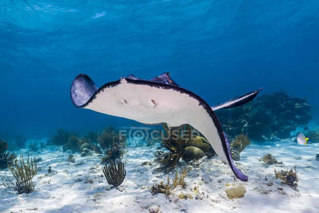 Stingray nuotare sui fondali marini — Foto stock
