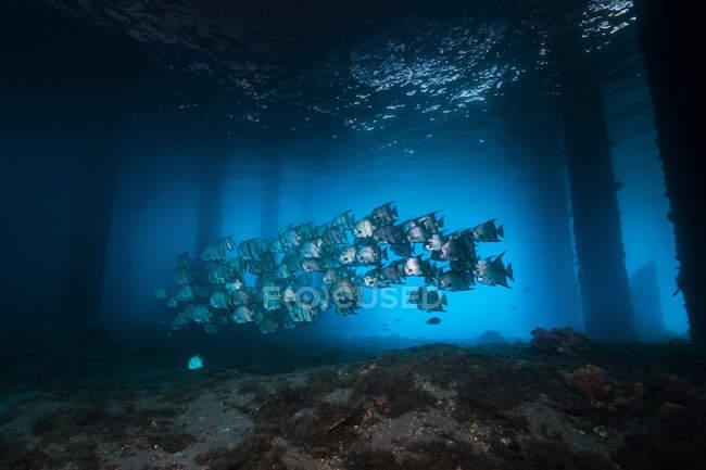 Spadefish flock swimming under pier — Stock Photo