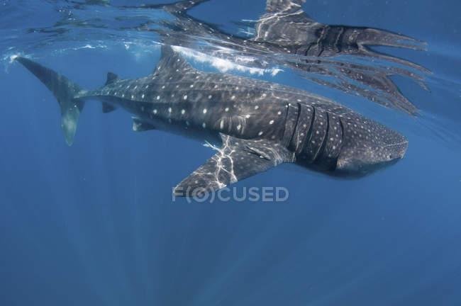 Walhai treibt nahe der Wasseroberfläche — Stockfoto
