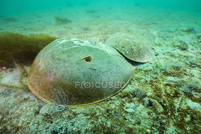 Cangrejos de herradura en los fondos marinos arenosos - foto de stock