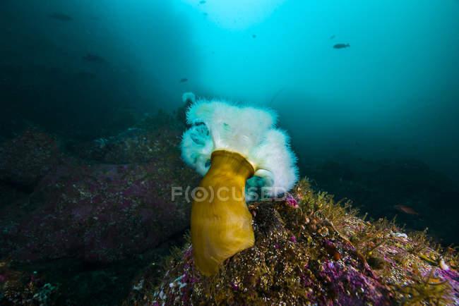 Anémona plumosa gigante sobre roca - foto de stock