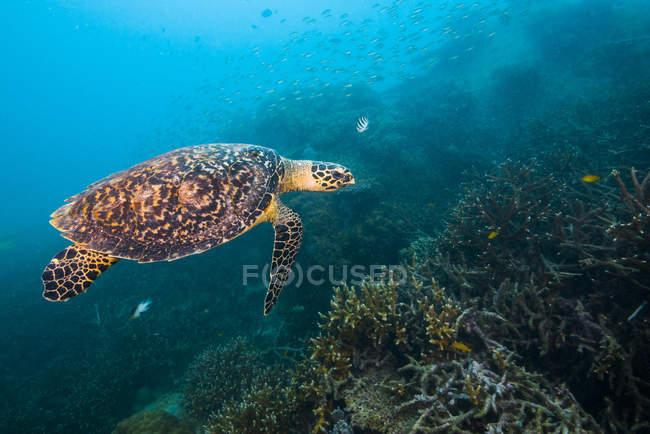 Falkenschildkröte schwimmt über Riff — Stockfoto