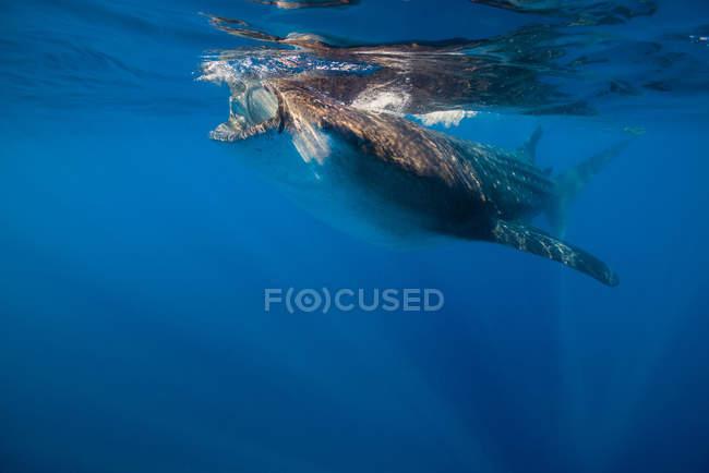 Tiburón ballena en Isla Mujeres - foto de stock