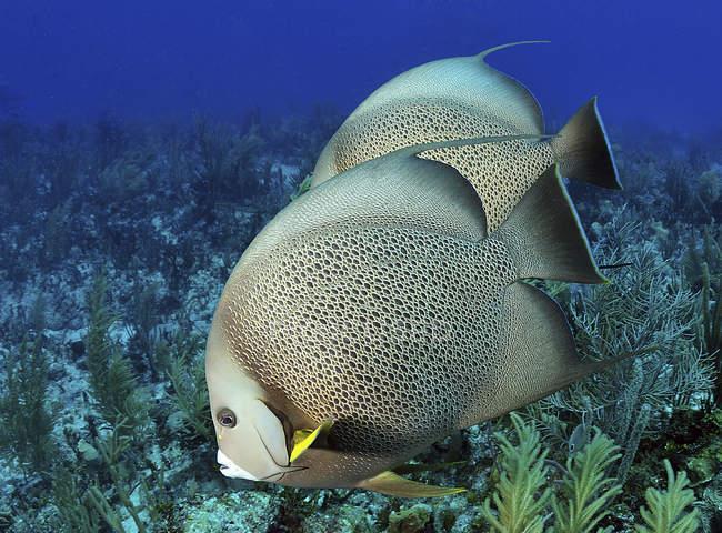 Pez ángel gris nadando sobre el arrecife del Caribe - foto de stock