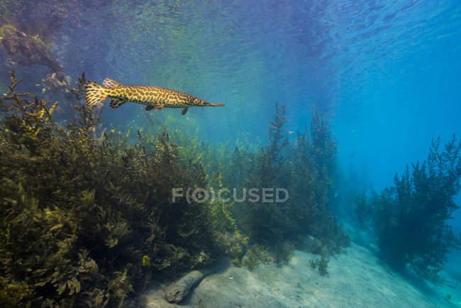 Garo maculato che nuota nel lago di primavera — Foto stock