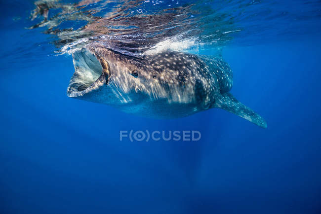 Requin-baleine à Isla Mujeres — Photo de stock