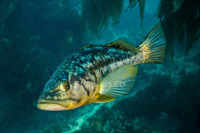 Seetang-Bass im dunklen Wasser — Stockfoto