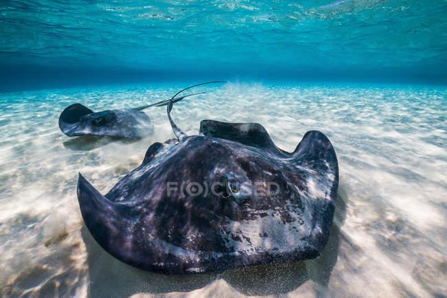 Southern stingrays on sandbar — Stock Photo