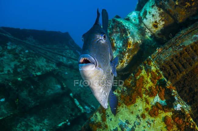 Triggerfish nadando entre naufragios - foto de stock