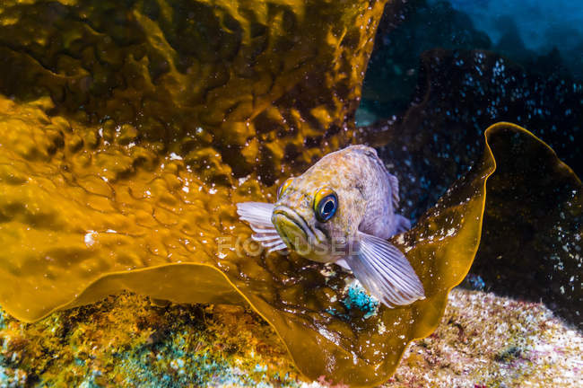 Seetang Drachenköpfe auf Blatt der Riff-plan — Stockfoto