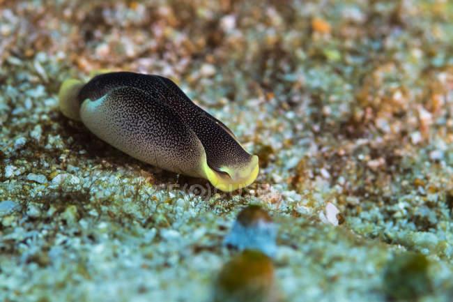 Chelidonura amoena Bergh limace de mer — Photo de stock