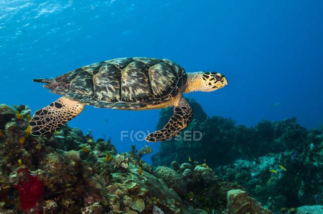 Hawksbill tartaruga marina nuotare sulla barriera corallina — Foto stock