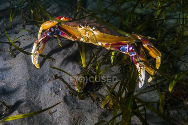 Crabe commun dans les algues de Puget Sound — Photo de stock