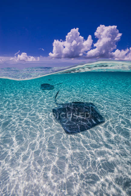 Southern stingrays on sandbar in Grand Cayman — Stock Photo