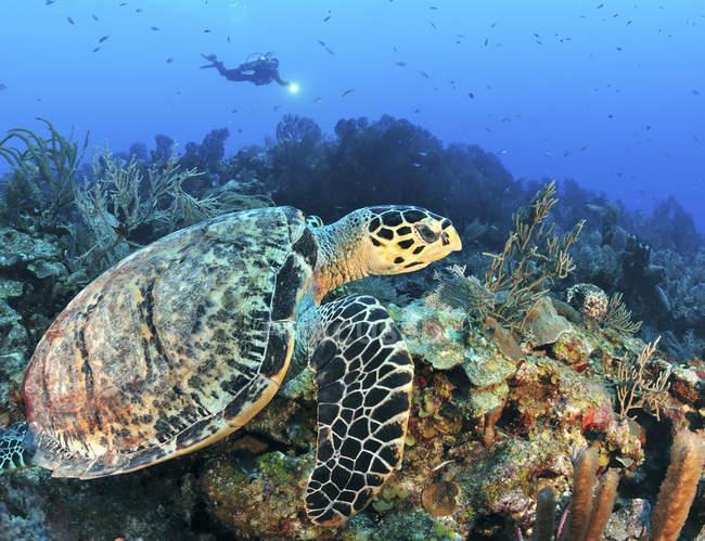 Tartaruga Hawksbill nadando ao longo do recife — Fotografia de Stock