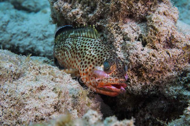 Coda rossa con isopodi sulla testa — Foto stock