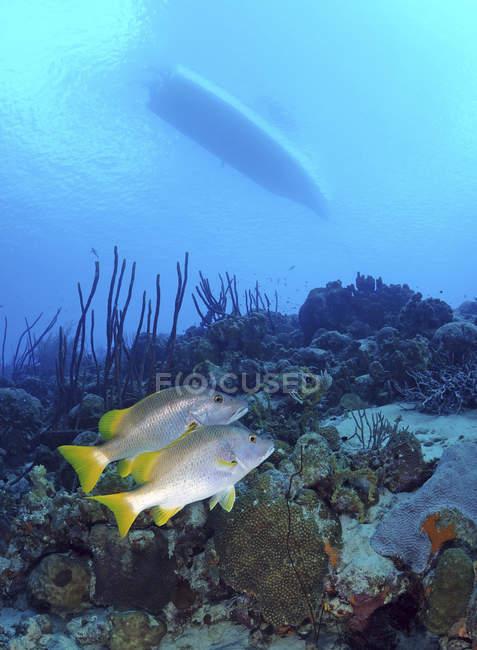 Paar von Schulmeister Schnapper am karibischen reef — Stockfoto