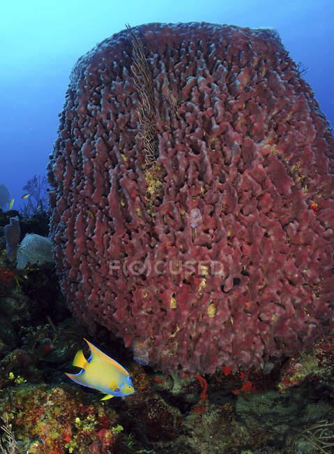 Esponja de barril con Queen Angelfish - foto de stock