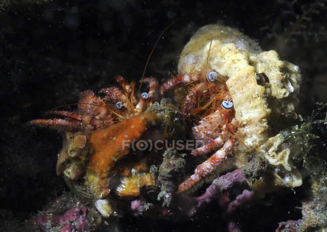 Par de cangrejos ermitaños - foto de stock