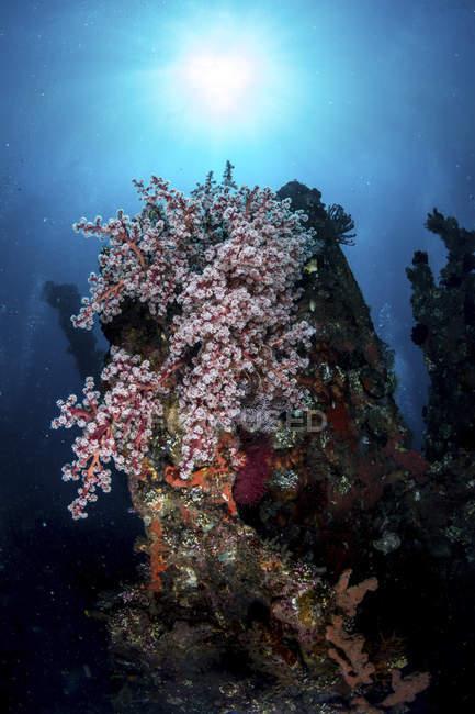 Colonies de coraux mous sur l'épave du Uss Liberty, Tulamben, Indonésie — Photo de stock