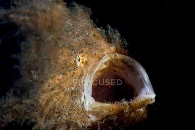 Closeup Vorderansicht des haarigen Anglerfisch mit geöffneten Mund — Stockfoto