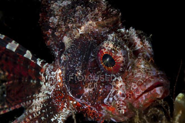 Vue de face de CloseUp de poisson-papillon taupe — Photo de stock