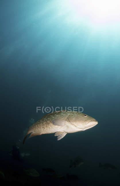 Groupers del Golfo nadando en agua oscura - foto de stock
