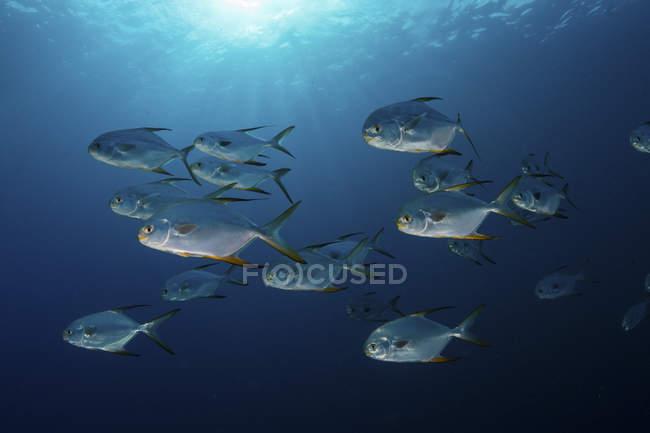 Snubnose Pompano Fischschwarm im Blauwasser — Stockfoto
