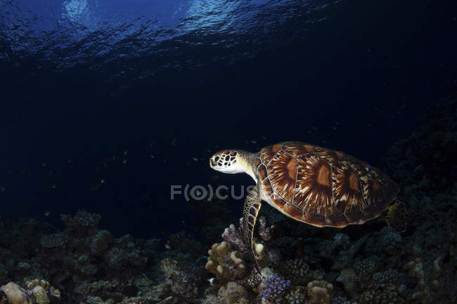 Зеленая черепаха плавает в темной воде — стоковое фото