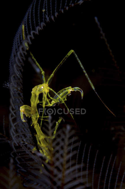 Closeup view of green skeleton shrimp in dark water — Stock Photo