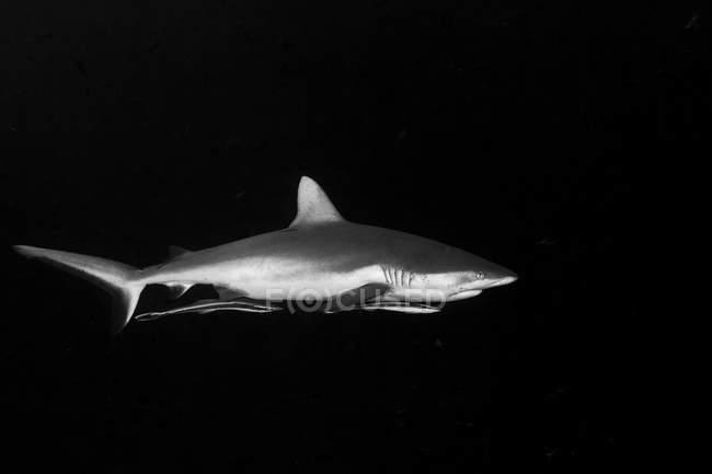 Серые рифовые акулы с прилагаемой remoras — стоковое фото
