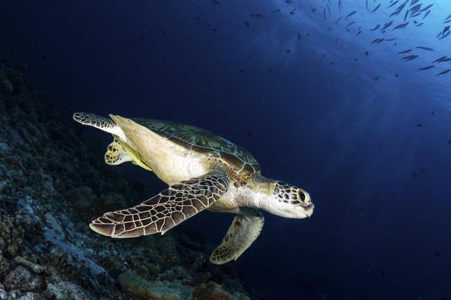 Eine grüne Meeresschildkröte, die über dem Meeresboden schwimmt — Stockfoto
