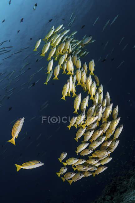 Una escuela de pargos de rayas azules nadando en agua azul - foto de stock
